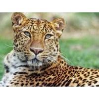 Leopard Hobby